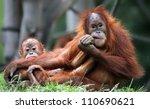 Orangutan - Mother and child - stock photo