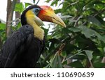 Small photo of Close-up view of a Wrinkled Hornbill (Aceros corrugatus)
