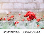 roses on an old wall old brick... | Shutterstock . vector #1106909165