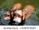 hippopotamus is a mostly ... | Shutterstock . vector #1106924069