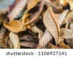 Brown Horse Chestnut Leaves On...