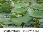 the lotus flower is lotus and... | Shutterstock . vector #1106945261