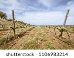 young vineyards beginning to... | Shutterstock . vector #1106983214
