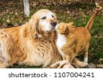 Golden Retriever And A Cat...