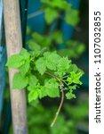 gardening in the summer house... | Shutterstock . vector #1107032855