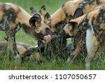 wild dog hunting in botswana ...   Shutterstock . vector #1107050657