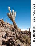 trichoreceus cactus on isla...   Shutterstock . vector #1107067901