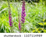 closeup of lilac lupines in a... | Shutterstock . vector #1107114989