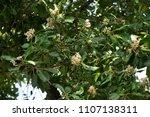 alexandrian laurel  beautiful...   Shutterstock . vector #1107138311