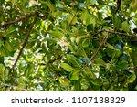 alexandrian laurel  beautiful...   Shutterstock . vector #1107138329