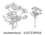 flowering branch of sweet... | Shutterstock .eps vector #1107139454