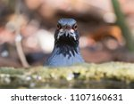 red legged thrush turdus... | Shutterstock . vector #1107160631