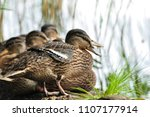Cute Mallard Ducks Take A Rest...