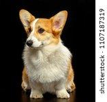 welsh corgi pembroke dog ... | Shutterstock . vector #1107187319