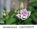 pink and white clematis flower... | Shutterstock . vector #1107199379