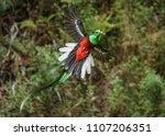 resplendent quetzal cloud forest | Shutterstock . vector #1107206351