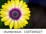 Macro View Of An African Daisy