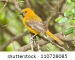 Small photo of Photograph of a brightly plumaged Altamira Oriole perched on a branch in a south Texas tropical woodland setting.