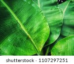 Fresh Green Banana Leaves On...