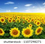 field of sunflowers and sun  | Shutterstock . vector #1107298271