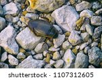 Small photo of Beetle Dytiscidae on the limestone gravel. Analog photo filter effect