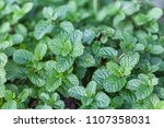 mint is a green leafy plant.... | Shutterstock . vector #1107358031