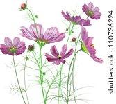 Vector Garden Flowers  Cosmos...