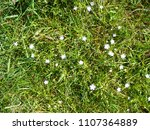 Small photo of Grass with many little white flowers stars from Caryophylláceae family, Stellaria longifolia in sunny day