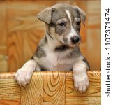 the puppy looks out of the box | Shutterstock . vector #1107371474