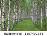 smooth birch forest  a birch... | Shutterstock . vector #1107402851