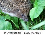 the hedgehog is hiding in the... | Shutterstock . vector #1107407897