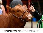 beef cattle  steers  waiting...