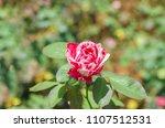 double delight hybrid tea rose... | Shutterstock . vector #1107512531
