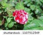 double delight hybrid tea rose... | Shutterstock . vector #1107512549