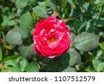double delight hybrid tea rose... | Shutterstock . vector #1107512579