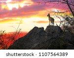 a solitary steenbok looks out...   Shutterstock . vector #1107564389