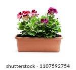 colorful  pelargonium flowers... | Shutterstock . vector #1107592754