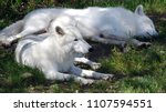 arctic wolf or polar white wolf ... | Shutterstock . vector #1107594551