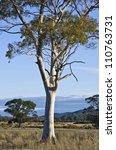 Eucalyptus Tree With Smooth...