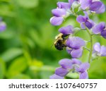 Bumble Bee Gathering Pollen On...