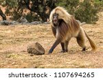 Gelada Baboon Male In The...