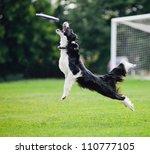 Black And White Dog Catching...