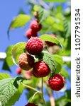 raspberry bush on a sunny... | Shutterstock . vector #1107791534