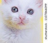 white turkish angora kitten... | Shutterstock . vector #1107866099
