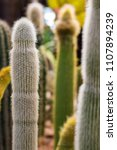 Small photo of Long vertical white cactus covered with white fur looks like errected man's genitalia organ on the background of defocused vertical cacti vertical oblong shot