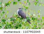 eurasian cuckoo  cuculus... | Shutterstock . vector #1107902045