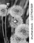 Small photo of Deflowered dandelions a close up. Macro. Flower vegetable background vertically it is black white option. Taraxacum. Asteraceae Family.