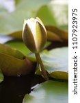 white nymphaea  nymphaea alba l.... | Shutterstock . vector #1107923975