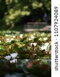 white nymphaea  nymphaea alba l.... | Shutterstock . vector #1107924089
