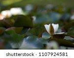 white nymphaea  nymphaea alba l.... | Shutterstock . vector #1107924581